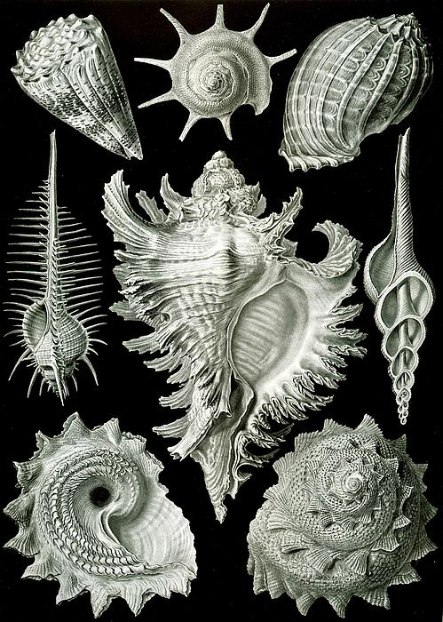Examples Of Prosranchia Print by Ernst Haeckel