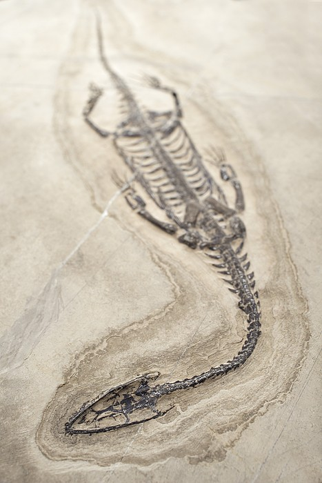 Extinct Triassic Reptile Print by Science Photo Library
