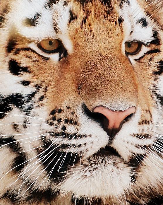 Eye Of The Tiger Print by Ramona Johnston