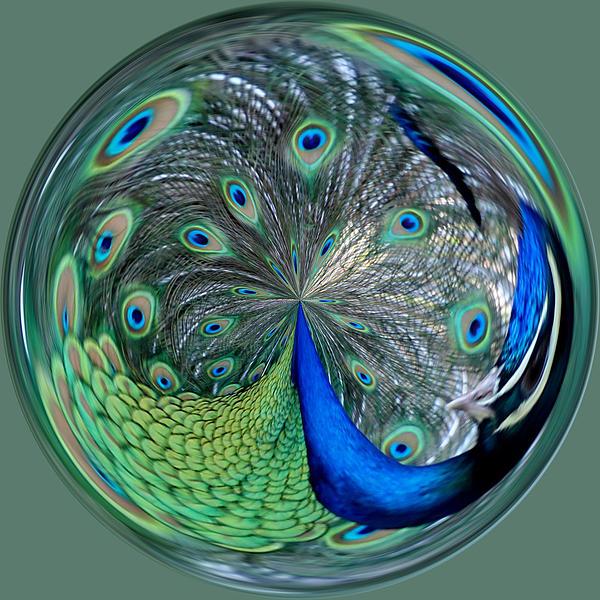 Eyes Of A Peacock Print by Cynthia Guinn