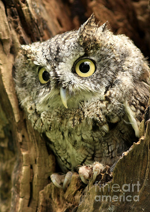 Eyes Of Wisdom Eastern Screech Owl In Hollow Tree Print by Inspired Nature Photography By Shelley Myke