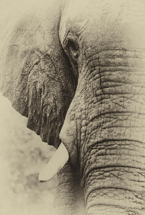 Rick Budai - Faded Elephant In Sepia