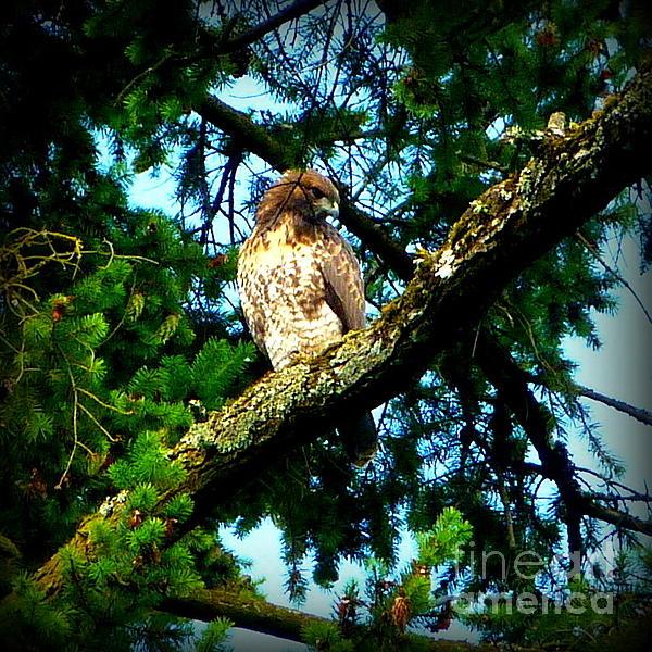 Falcon High Print by Susan Garren