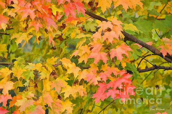Fall Leaves Maple Tree Print by Dan Friend