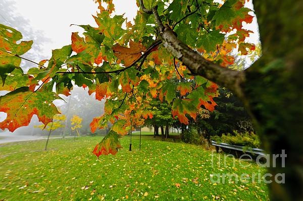 Fall Maple Tree In Foggy Park Print by Elena Elisseeva