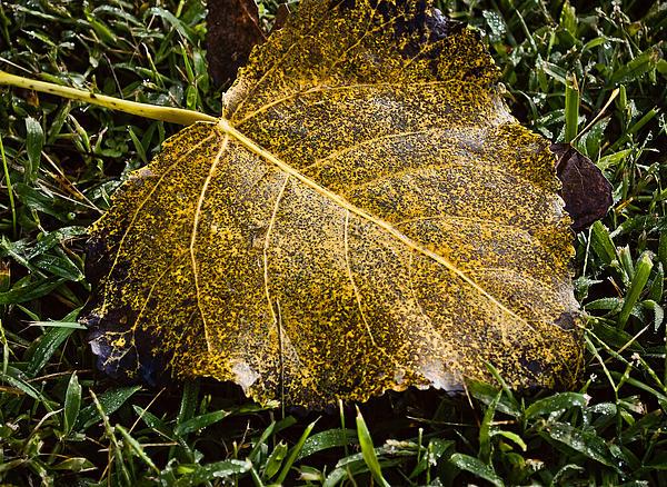 Fallen Leaf 1 Print by Greg Jackson
