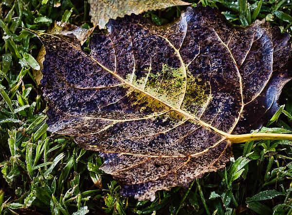 Fallen Leaf 2 Print by Greg Jackson