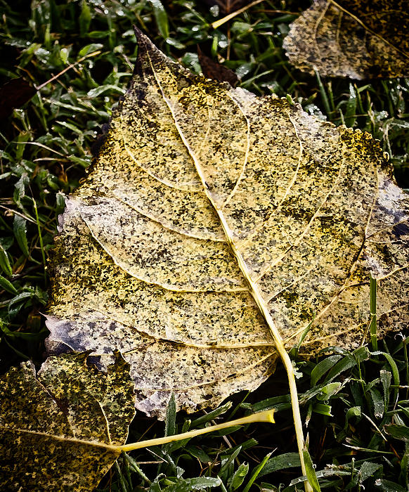 Fallen Leaf 3 Print by Greg Jackson