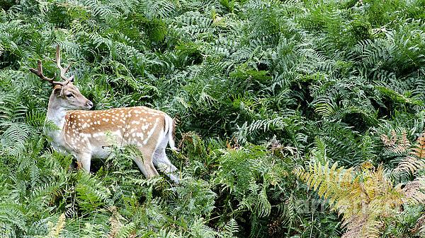 Linsey Williams - Fallow Me Deer