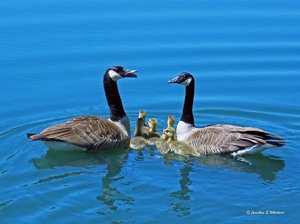 Family Canada Geese Print by Jonathan Whichard