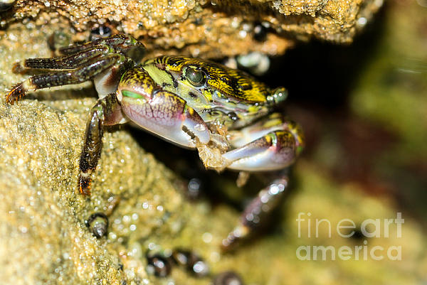 Feasting Crab Print by Michelle Burkhardt