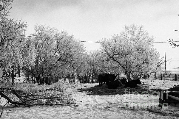 feed and fresh grass laid out for cows on winter farmland Forget Saskatchewan Canada Print by Joe Fox