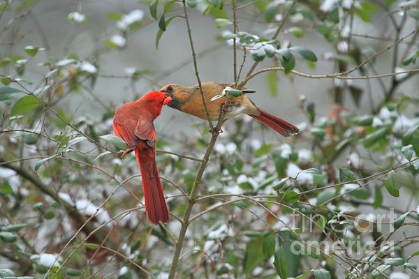 Feeding Cardinals Print by Geraldine DeBoer