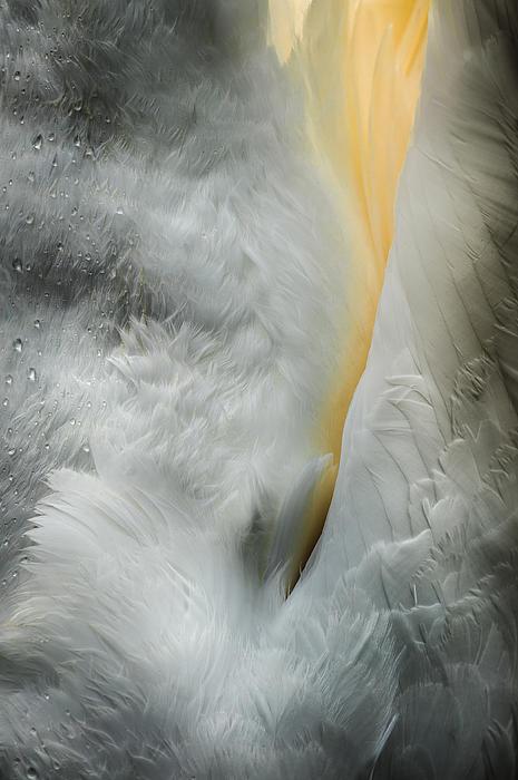 Feeding Swan Print by Andy Astbury