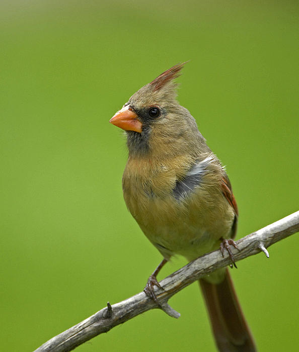 Female Cardinal Print by Claudio Bacinello