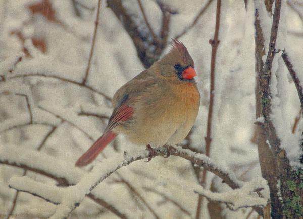 Female Cardinal In The Snow II Print by Sandy Keeton