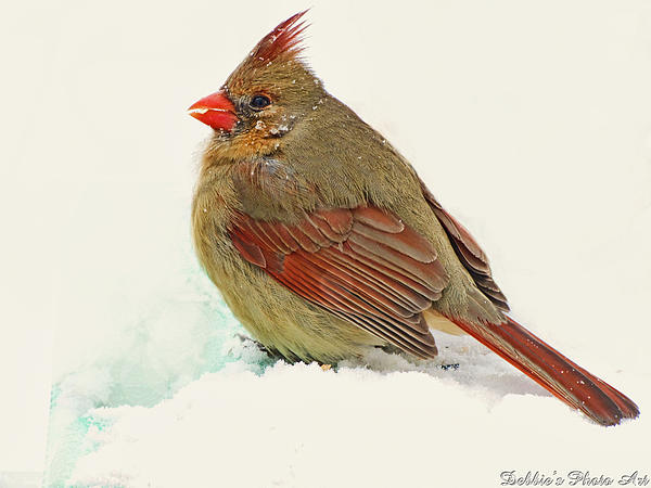 Debbie Portwood - Female Cardinal in winter II