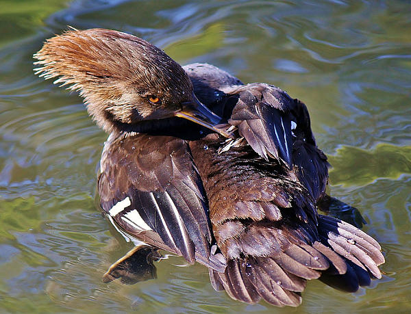 Female Hooded Merganser Print by Paulette Thomas