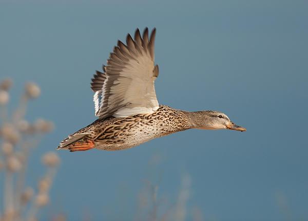 Gerald DeBoer - Female Mallard in Flight