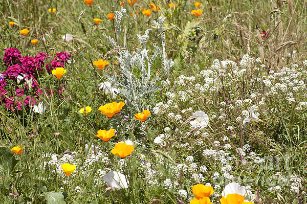 Field Of Flowers Print by Artist and Photographer Laura Wrede