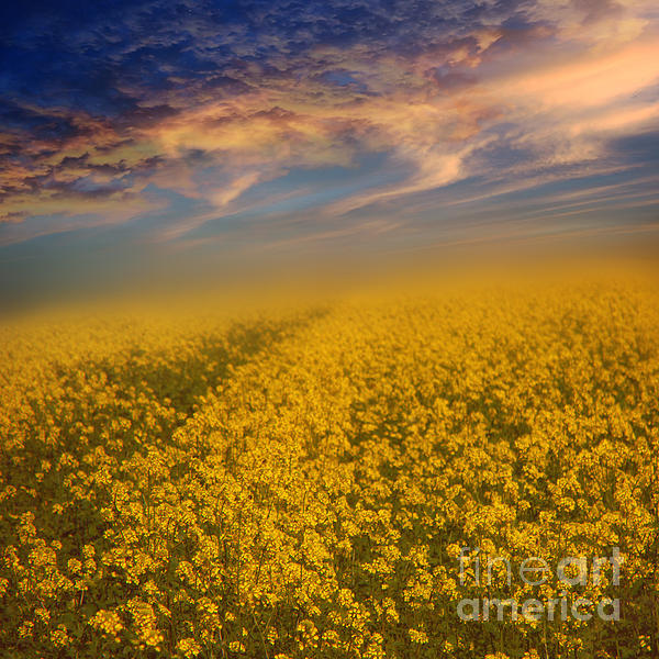 Field Of Rapeseed Print by Monika Pachecka