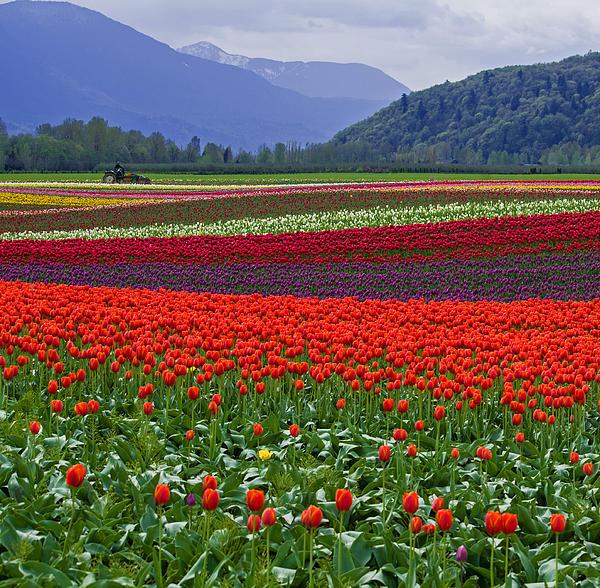 Field Of Tulips Print by Jordan Blackstone