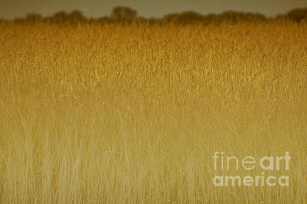 Fields Of Gold Nature Abstract Print by Anahi DeCanio