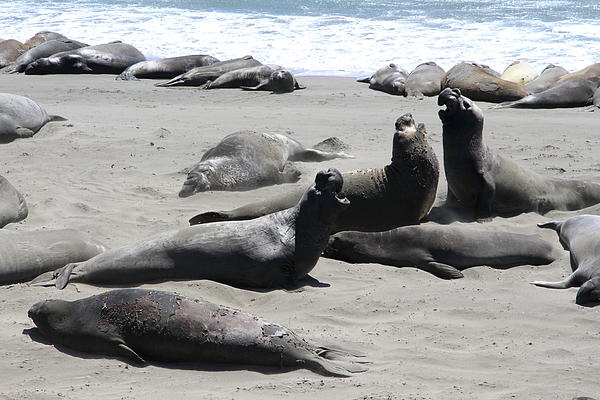 Christiane Schulze - Fighting Elephant Seals