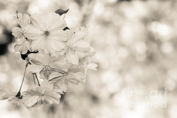 Finest Spring Time - Bw Print by Hannes Cmarits
