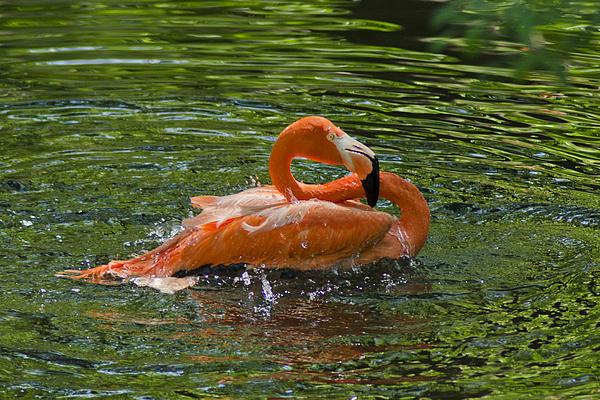 Flamingo Bath Print by Robert Carney