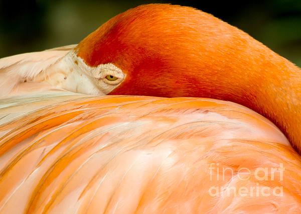 Sabrina L Ryan - Flamingo Napping