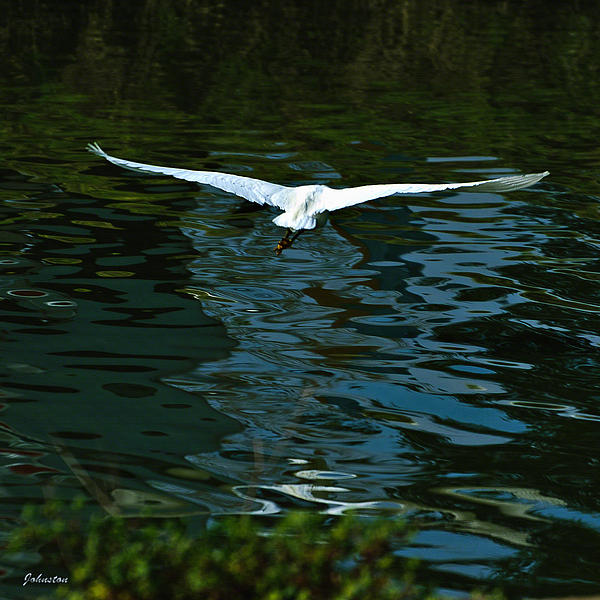 Flight Of The Egret Print by  Bob and Nadine Johnston