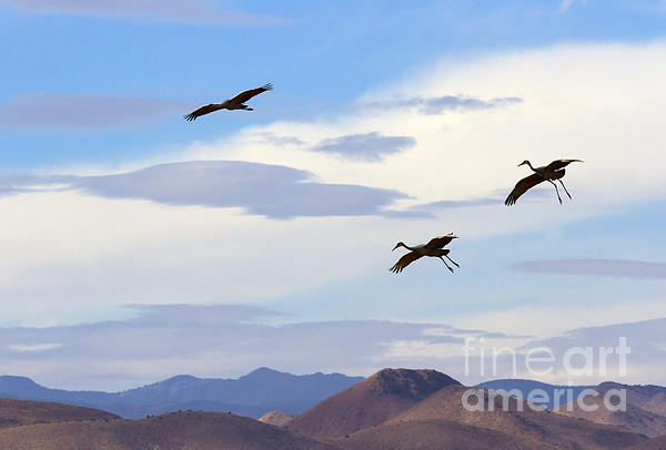 Flight Of The Sandhill Cranes Print by Mike  Dawson