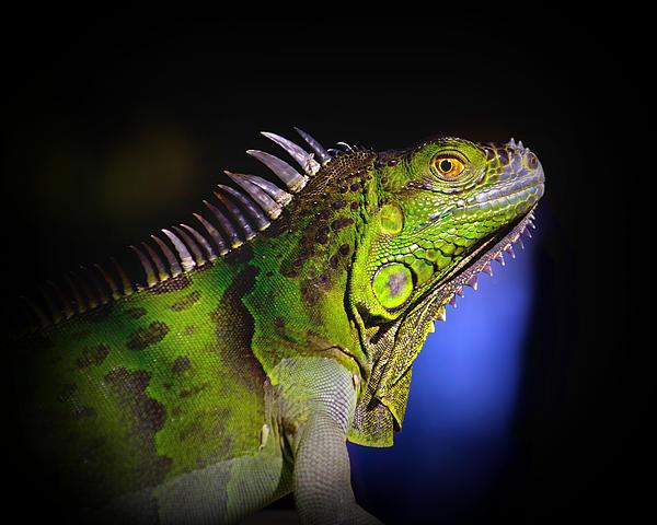 Mark Andrew Thomas - Florida Iguana