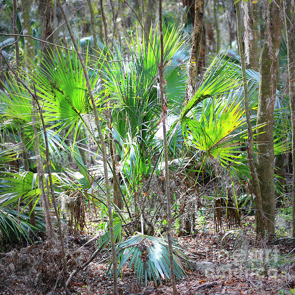 Florida Palmetto Bush Print by Carol Groenen