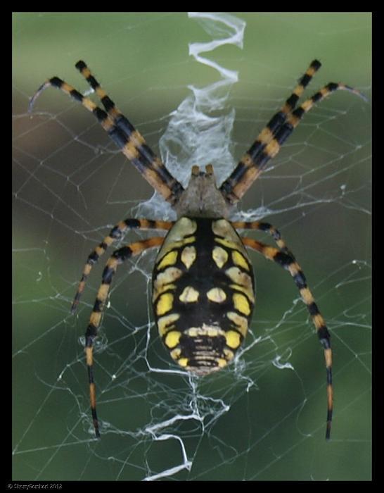 Sherry Gombert - Florida Spider-V5