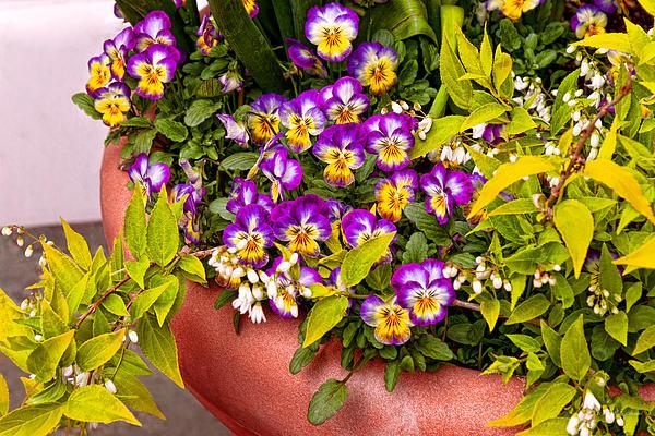 Flower - Pansy - Purple Posies  Print by Mike Savad
