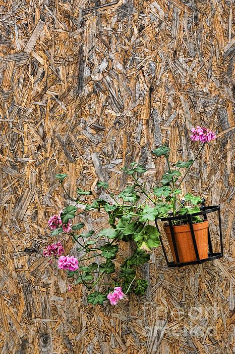 Flowers On Wall - Taromina Print by David Smith