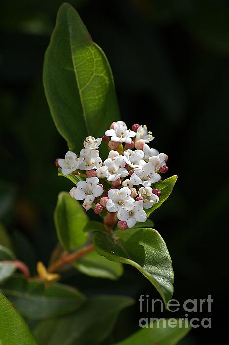 Flowers-tiny White Print by Joy Watson