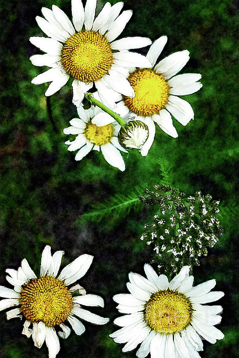 Dan Carmichael - Flowers - Yellow and White - Blue Ridge III