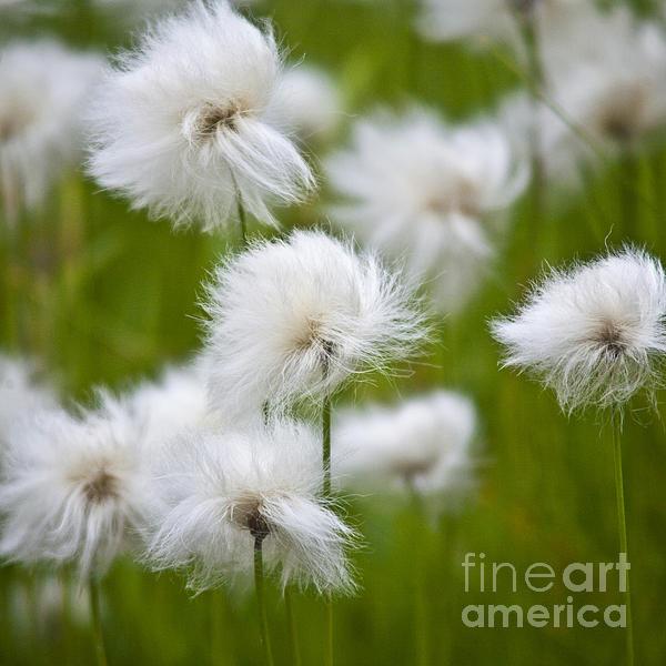 Flowery Cotton Print by Heiko Koehrer-Wagner
