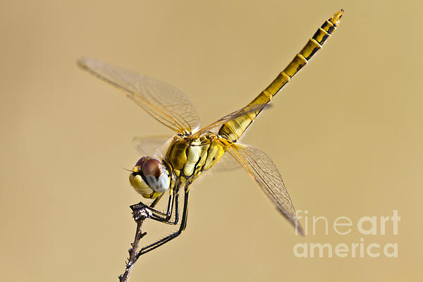 Fly Dragon Fly Print by Heiko Koehrer-Wagner