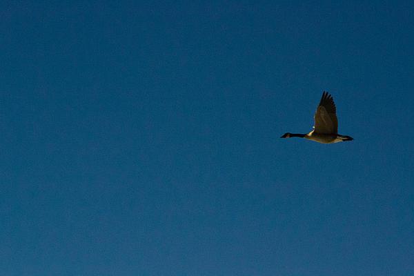 Flying Goose Print by Matt Radcliffe