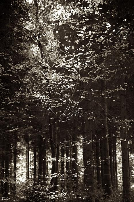 Colleen Williams - Forest Light