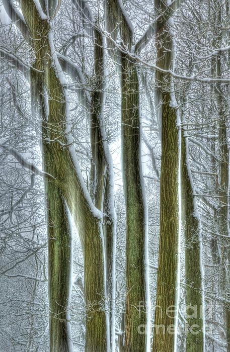 Forest Sentinels Print by David Birchall