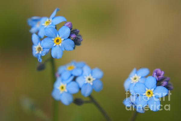 Forget Me Not 01 - S01r Print by Variance Collections