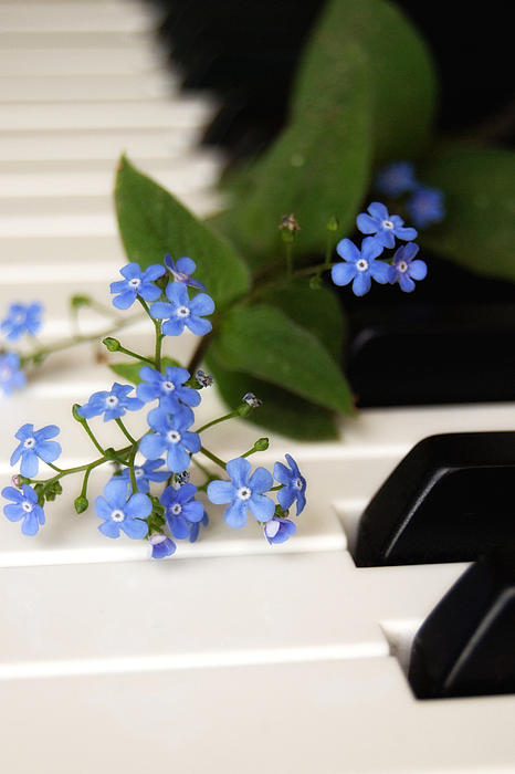 Forget Me Not Print by Di Kerpan