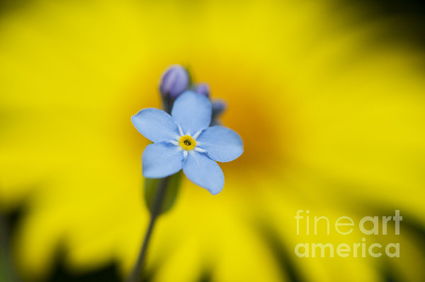 Forget Me Not Flower Print by Tim Gainey