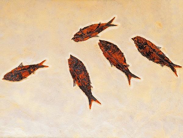 Fossilized Fishbritish Columbia Canada Print by Thomas Kitchin & Victoria Hurst