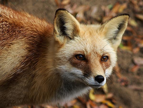 Fox Print by Paulette Thomas